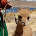 Orphaned Wild Baby Vicuna